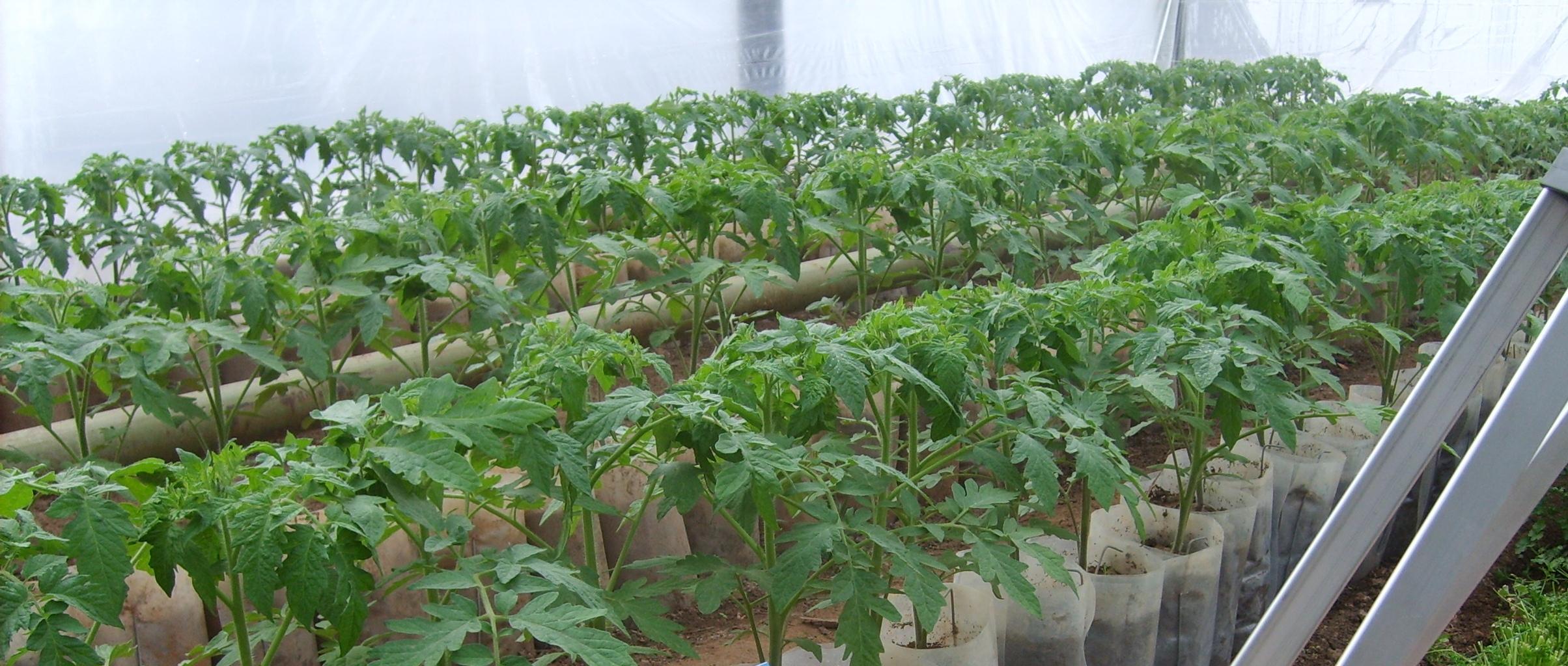 Гидропоника рассады томатов 55