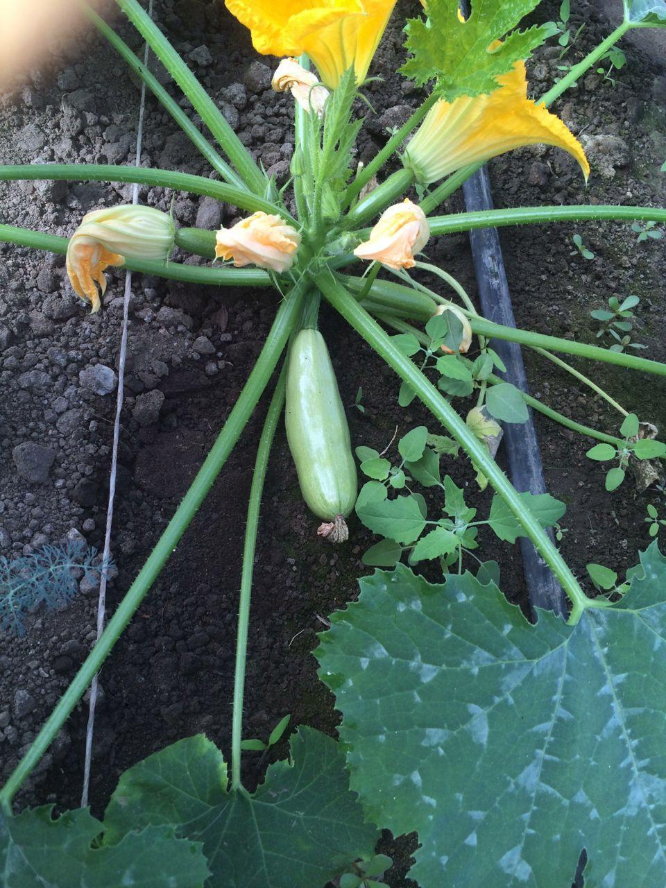 Выращивание кабачков в открытом грунте 29
