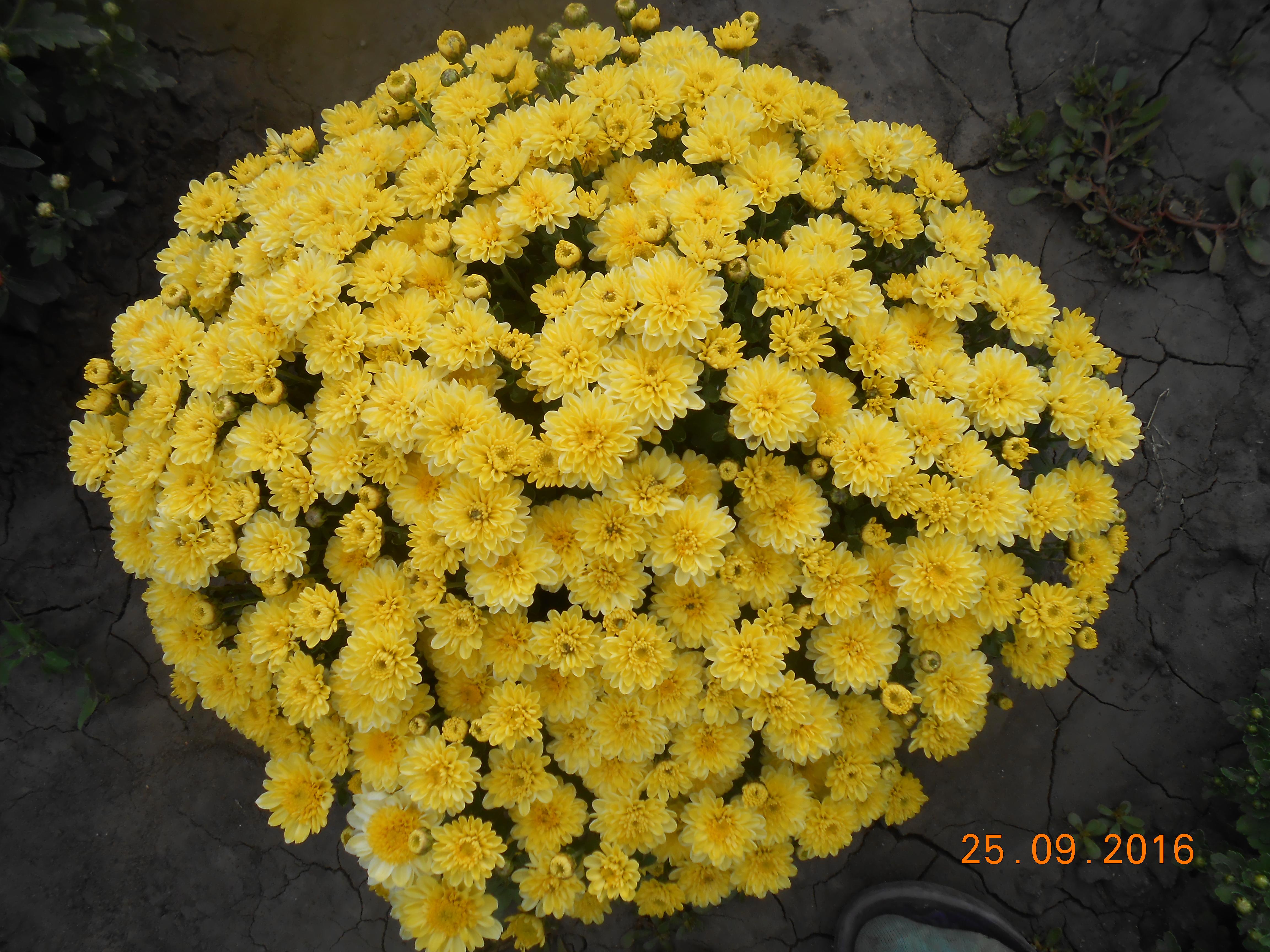 Выращивание хризантем в домашних условиях: посадка и уход