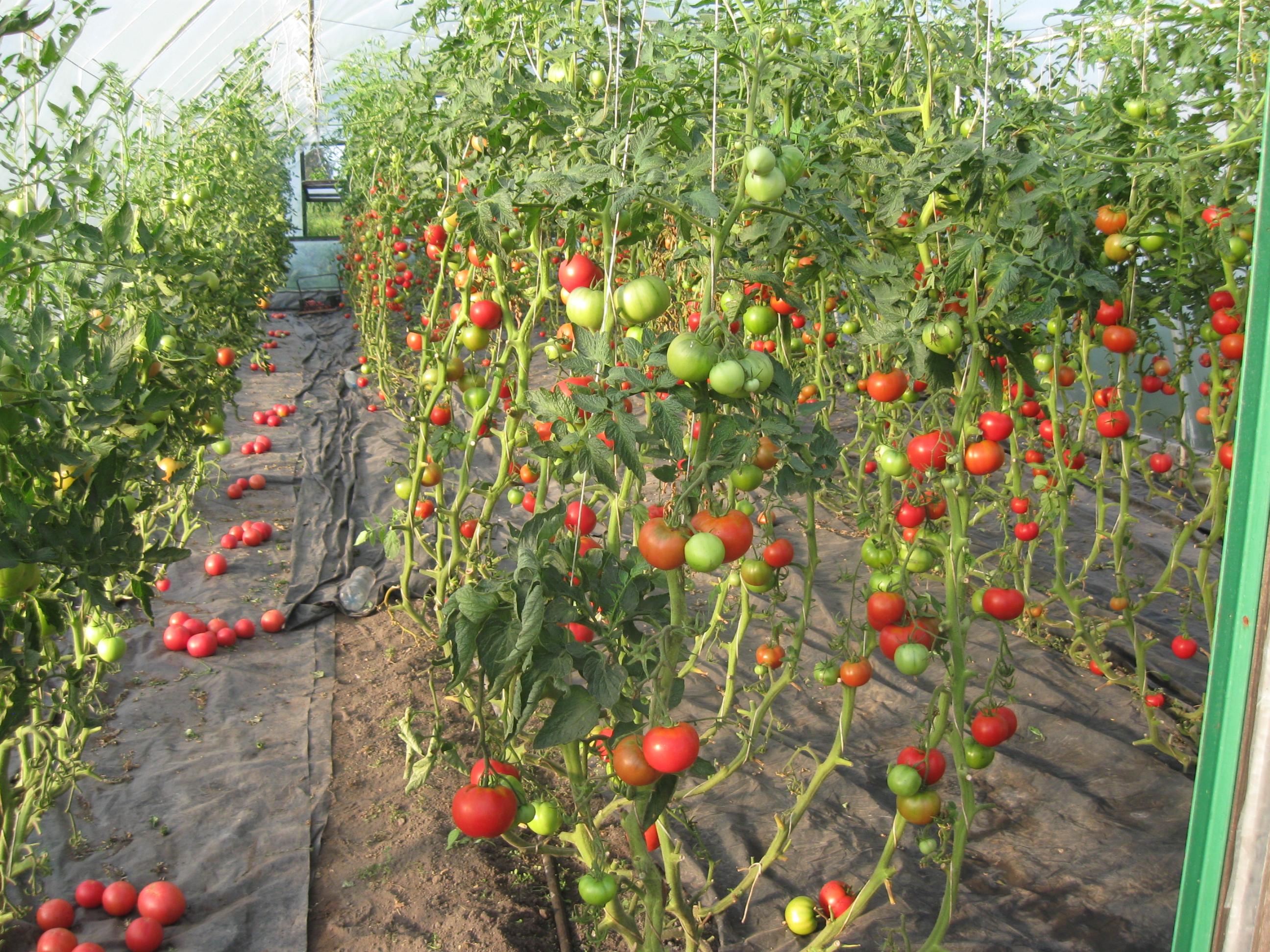 Высадка рассады помидор 291