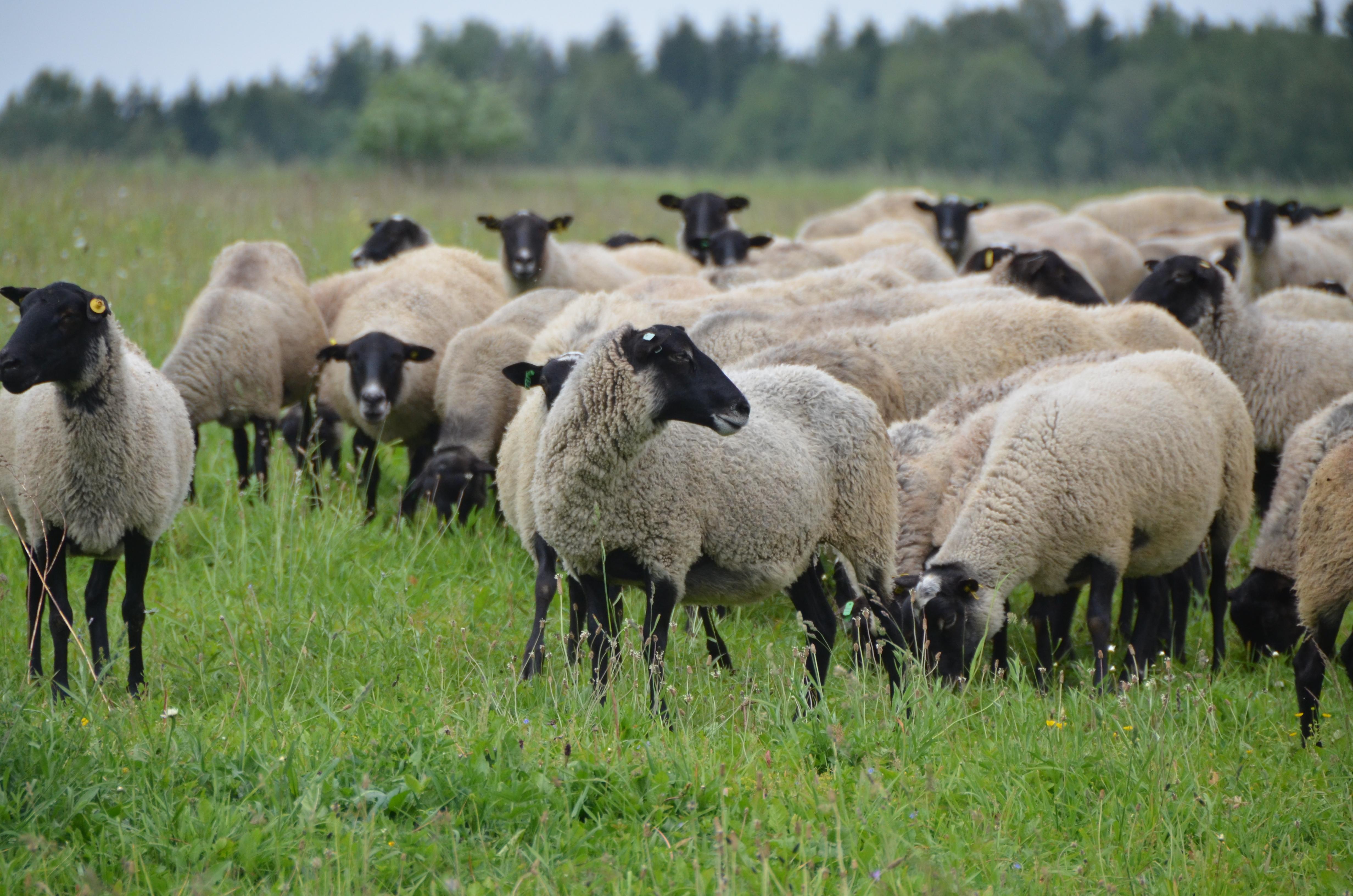 кажется фарах романовские овцы фото незапамятных