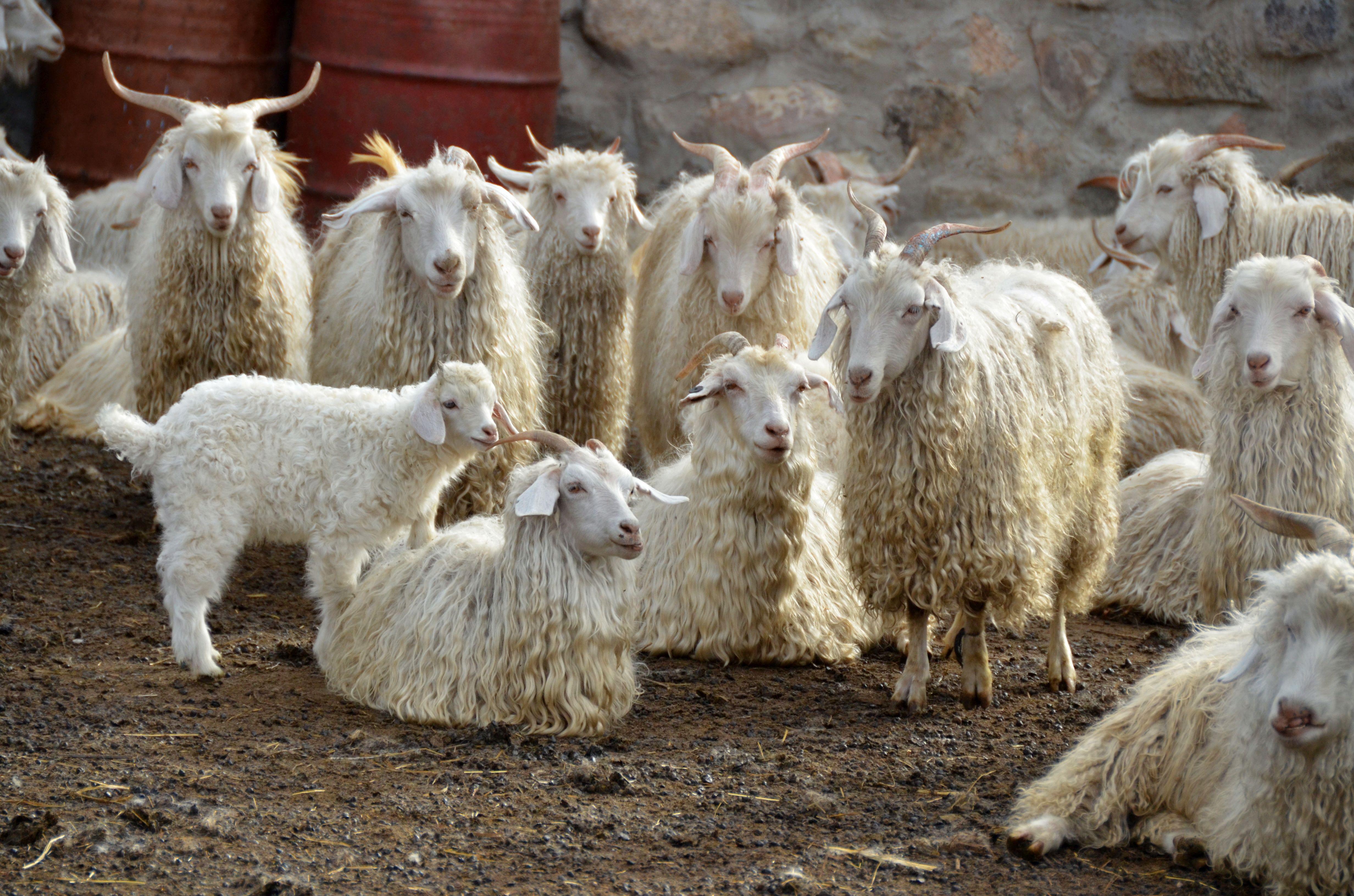 мерцающая картинка шерсть козы заполнении