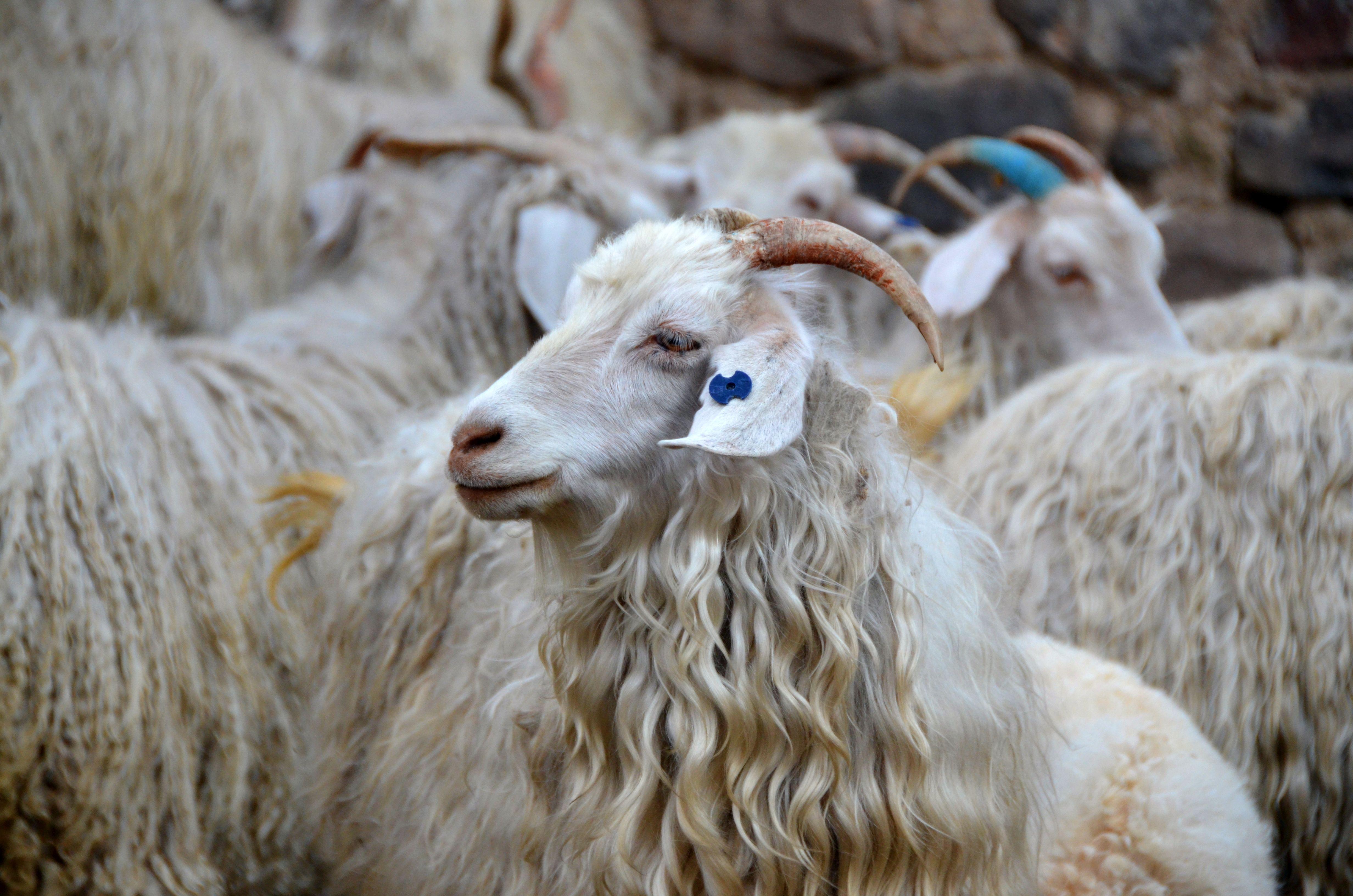 картинка шерсть козы масштабное земледелие были