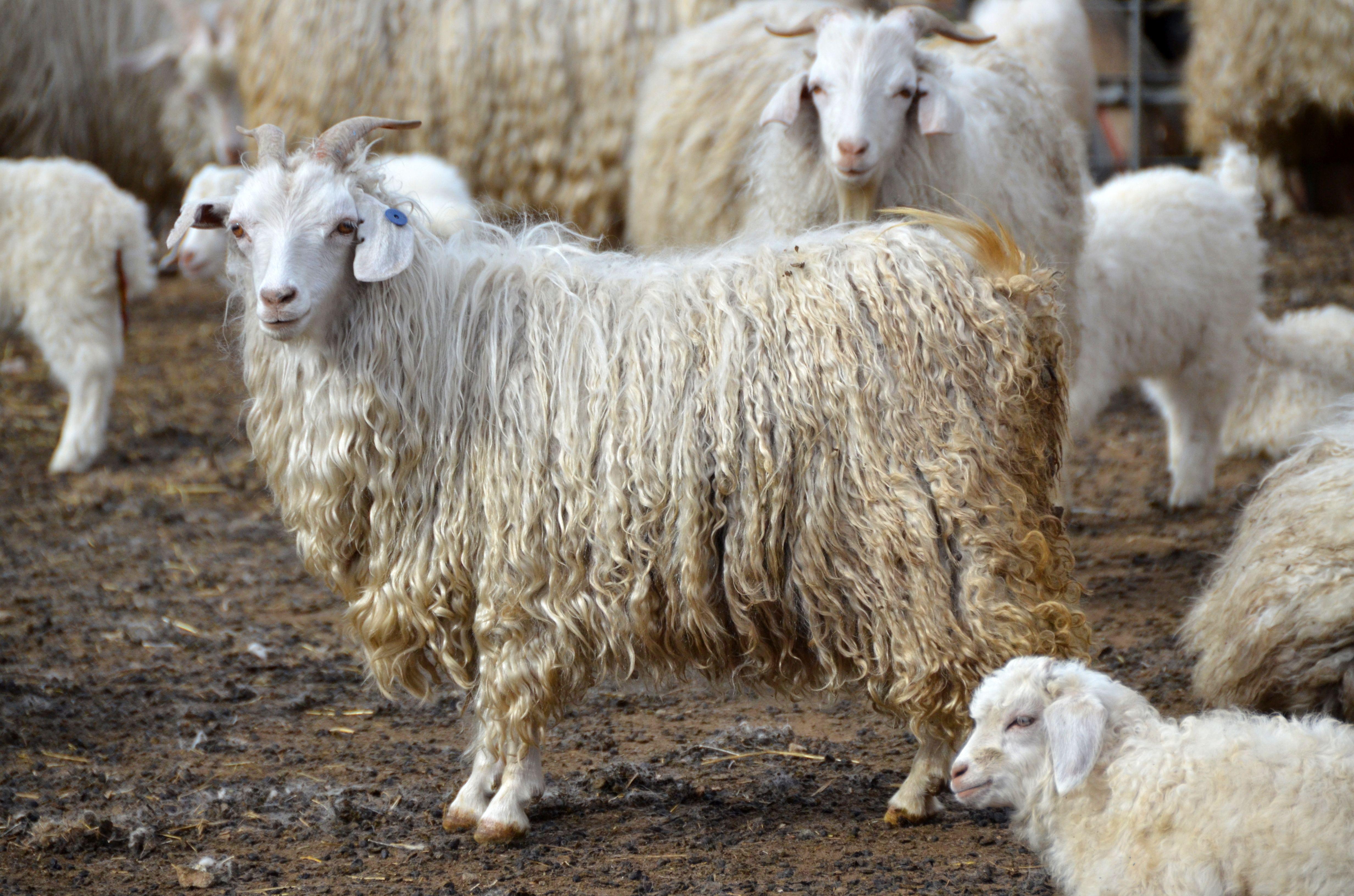 Картинки ангорских коз