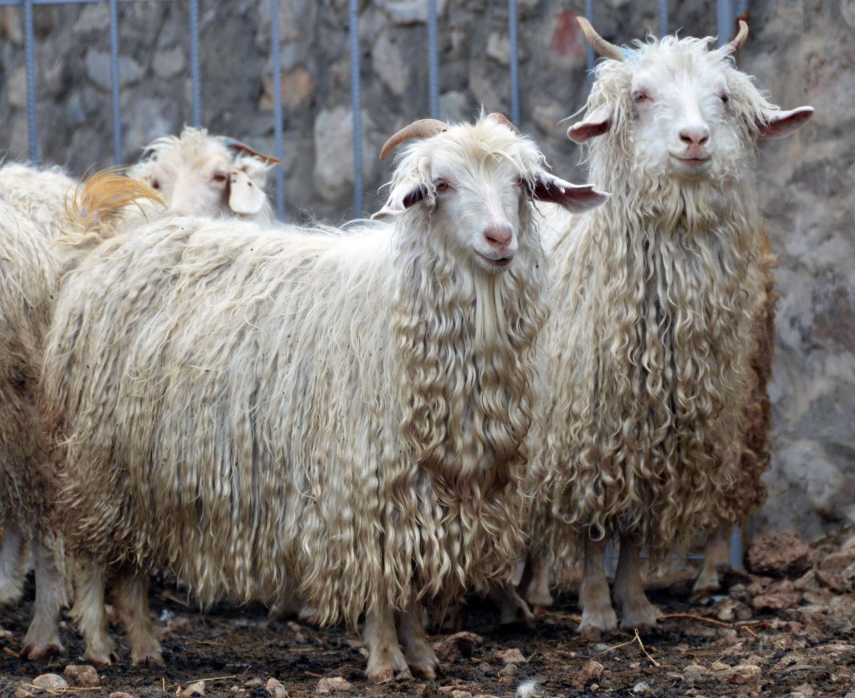 картинка шерсть козы помощью лобзика