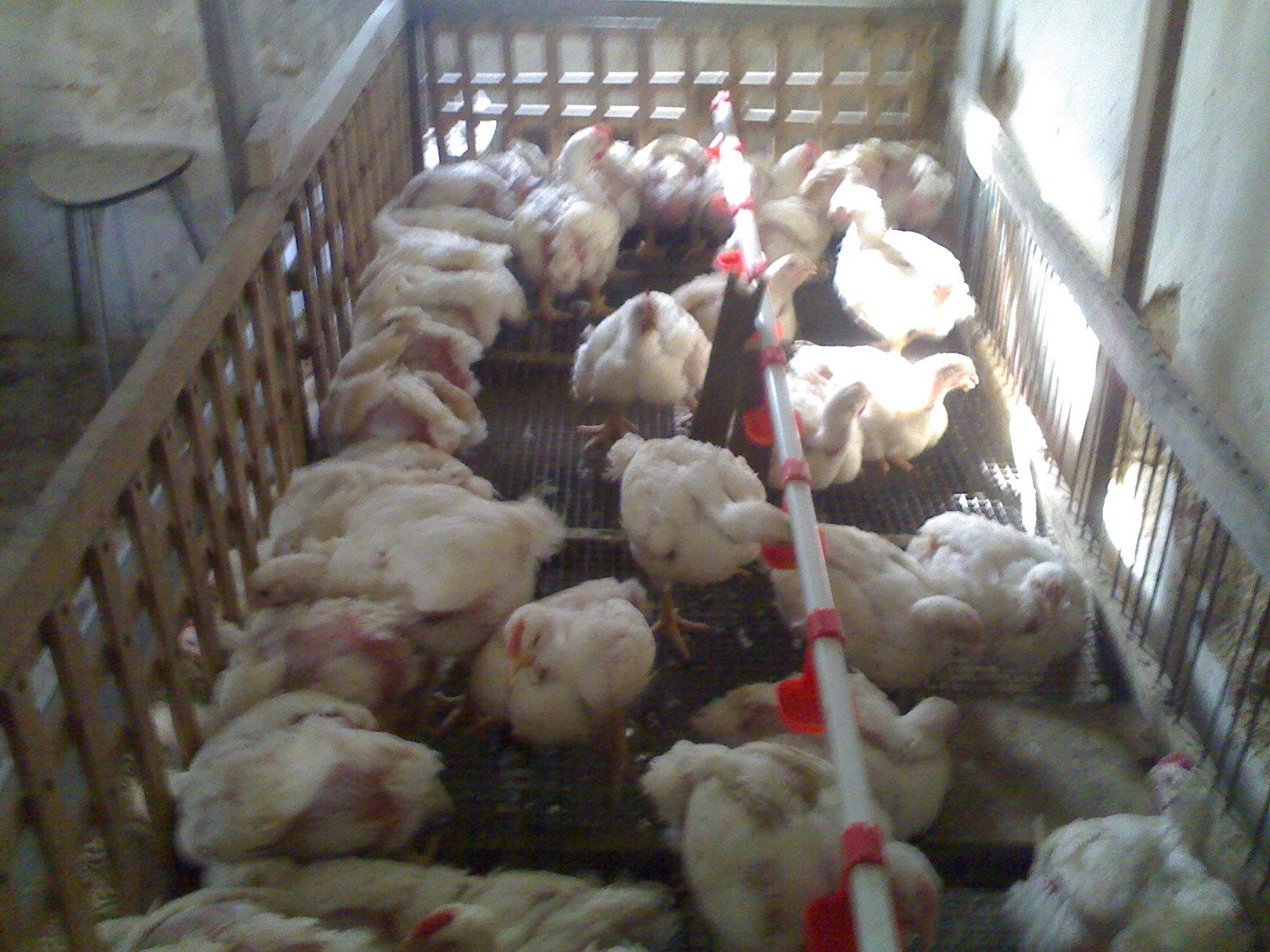 Болезни цыплят бройлеров 96