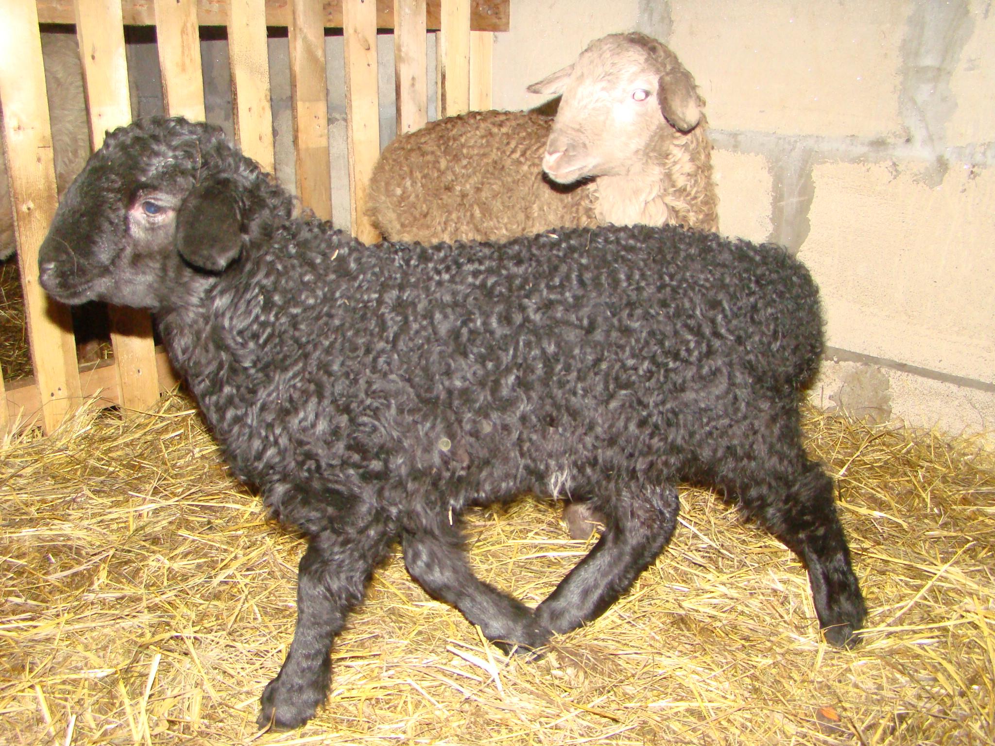 курдючные овцы фото готовьте аджапсандал