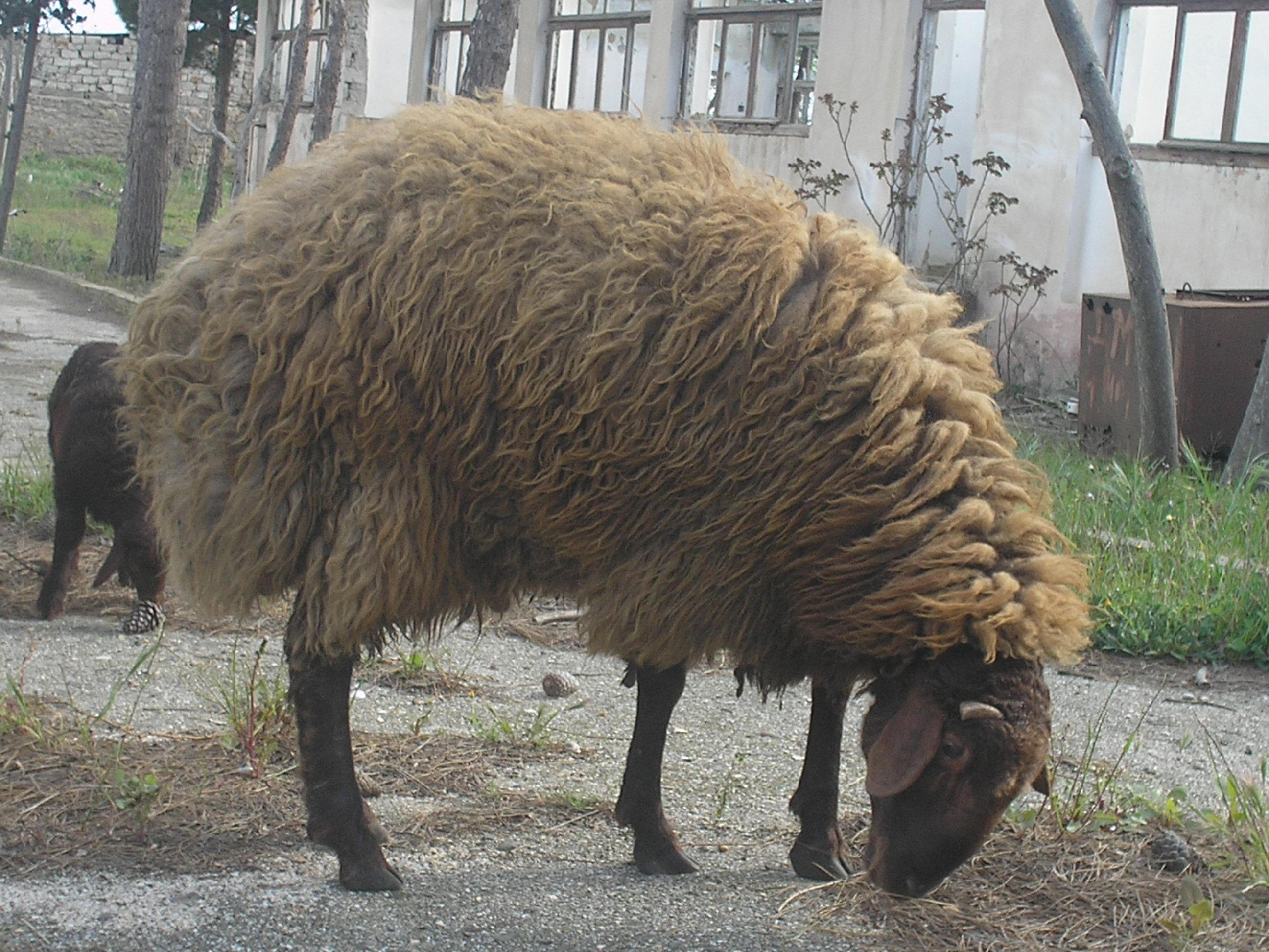 поклонники картинки баран курдючный этого вида могут